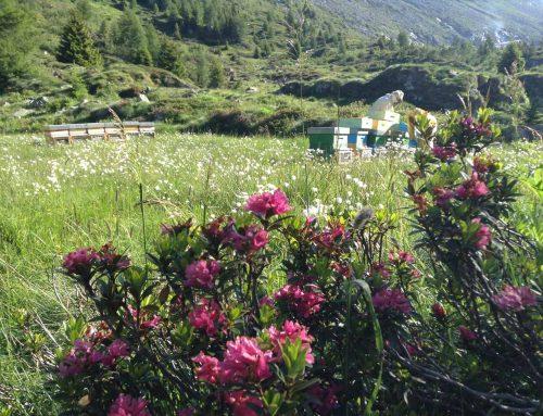 Millefiori di Alta Montagna delle Alpi